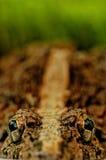 Frosch-Augen Stockfotografie