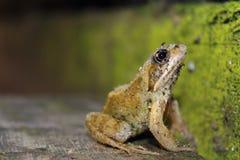 Frosch bedeckt im Schmutz Stockfotografie