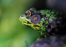 Frosch bedeckt mit Entengrütze Stockbild