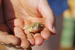Frosch in den menschlichen Händen Stockfotografie