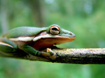 Frosch in den Sumpfgebieten Stockbild
