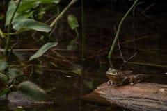 Frosch, der auf braunem Klotz sitzt lizenzfreies stockbild