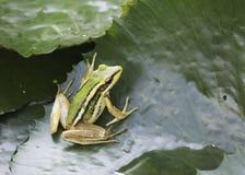 Frosch, der auf einem Lotosblatt sitzt Stockbild