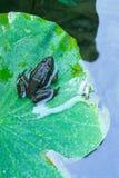 Frosch, der auf einem Lotosblatt stillsteht Lizenzfreies Stockfoto