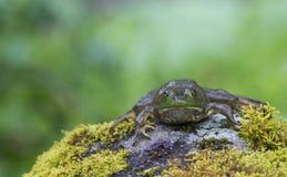 Frosch, der auf einem moosigen Felsen liegt Stockfotografie