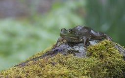 Frosch, der auf einem moosigen Felsen liegt Lizenzfreies Stockfoto