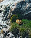 Frosch, der auf einem moosigen Felsen sitzt stockbilder