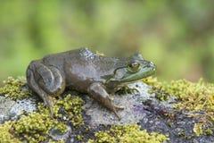 Frosch, der auf einem moosigen Felsen sitzt Stockfotos