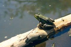 Frosch, der auf einem Stück Holz sitzt Stockfotos