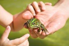 Frosch, der auf einer menschlichen Hand sitzt Lizenzfreies Stockfoto