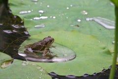 Frosch, der auf Lotus-Blatt sitzt Lizenzfreie Stockfotos