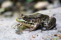 Frosch, der auf Stein sitzt stockfoto