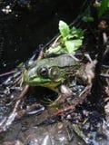 Frosch, der in einem Teich sitzt Lizenzfreie Stockfotografie
