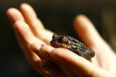 Frosch in der Hand Lizenzfreie Stockfotografie
