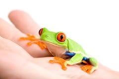 Frosch in der Hand getrennt auf Weiß Stockfotografie