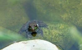 Frosch, der im Teich sitzt lizenzfreies stockfoto