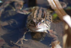 Frosch, der oben schaut Stockfotos