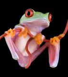 Frosch, der von der Rebe hängt Lizenzfreies Stockbild
