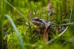 Frosch in der Waldprinzessin Frog stockfoto