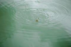 Frosch in der wasser- Schwimmen auf Wasser auf der Oberfläche lizenzfreie stockfotos