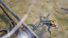 Frosch, der in Wasser schwimmt Lizenzfreie Stockbilder