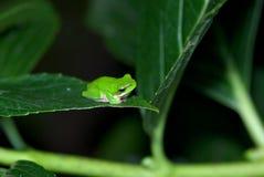 Frosch in einem Busch Lizenzfreie Stockbilder