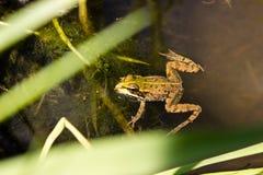 Frosch in einem ruhigen Nebenfluss Stockbilder
