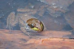 Frosch in einem Teich Stockbilder