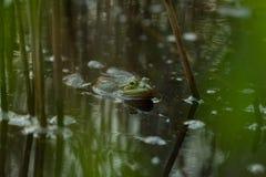 Frosch in einem Teich Stockbild