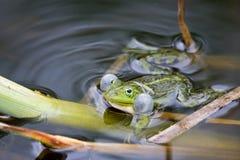 Frosch in fügender Zeit. Lizenzfreie Stockfotografie