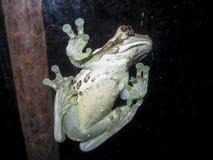Frosch fest zu einem Fenster Lizenzfreie Stockbilder