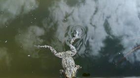 Frosch fiel in das Pool und kann nicht hinausgehen Sie schwimmt und wird alt hinauszugehen, aber manchmal die Reste und erfasst S stock video footage
