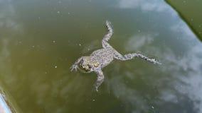 Frosch fiel in das Pool und kann nicht hinausgehen Sie schwimmt und wird alt hinauszugehen, aber manchmal die Reste und erfasst S stock video