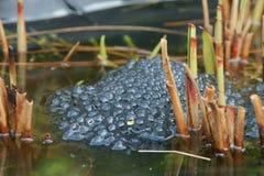 Frosch-Fischeier Lizenzfreie Stockbilder