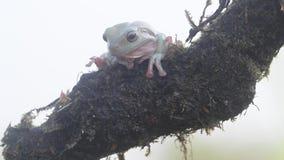 Frosch, Frösche, Baumfrösche, Abschluss oben, Amphibien stock video