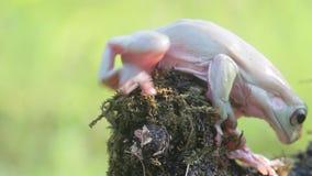 Frosch, Frösche, Baumfrösche, Abschluss oben, Amphibien stock video footage