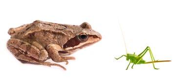 Frosch gegen die Heuschrecke getrennt auf weißem Hintergrund Stockbild