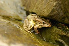 Frosch getrennt Lizenzfreies Stockbild