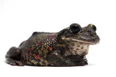 Frosch getrennt auf Weiß Stockbild
