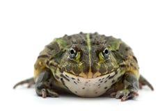 Frosch getrennt auf Weiß Stockfoto
