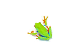 Frosch getrennt auf Weiß Stockbilder