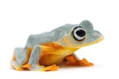 Frosch getrennt auf Weiß Lizenzfreie Stockfotografie