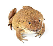 Frosch getrennt auf weißem Hintergrund Stockfotos