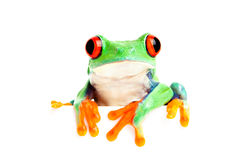 Frosch getrennt auf Weiß für Fahne usw. Stockfotos