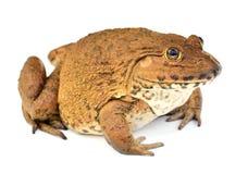 Frosch getrennt auf weißem Hintergrund Lizenzfreie Stockfotografie
