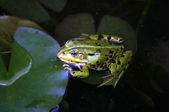 Frosch -. Green frog in a small pond Royalty Free Stock Images