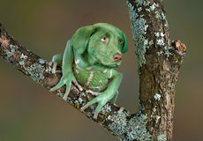 Frosch-Hund Lizenzfreies Stockfoto