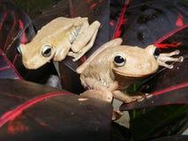 Frosch (Hyla crepitans) stockbilder