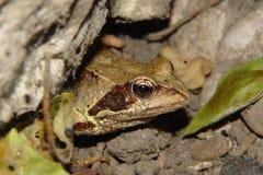 Frosch II Lizenzfreie Stockbilder