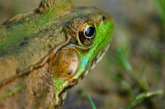 Frosch II Stockfoto